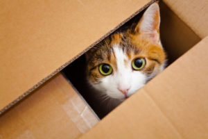 17763283 - beautiful european cat in a delivery box